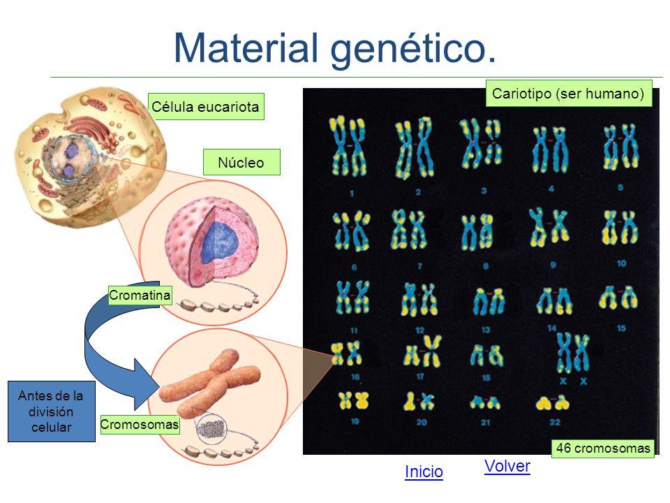 Material genético. Volver Inicio Cariotipo (ser humano)