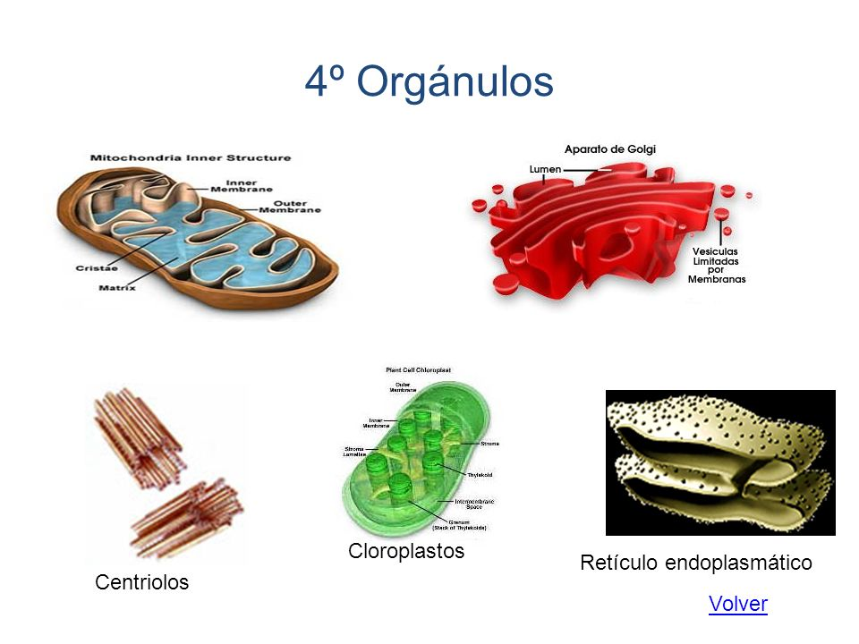 4º Orgánulos Cloroplastos Retículo endoplasmático Centriolos Volver