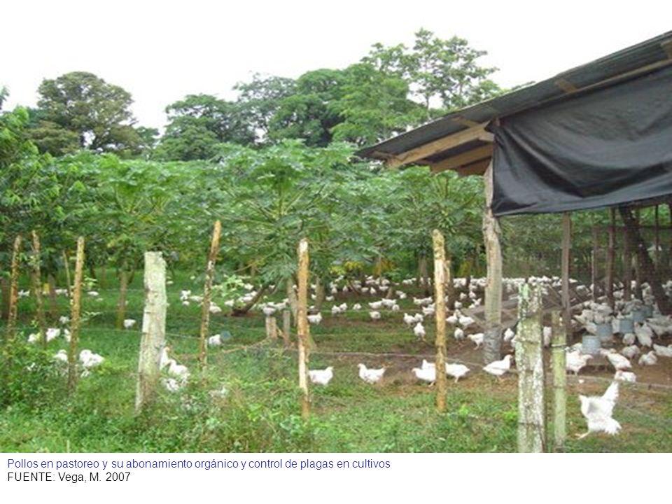 Pollos en pastoreo y su abonamiento orgánico y control de plagas en cultivos