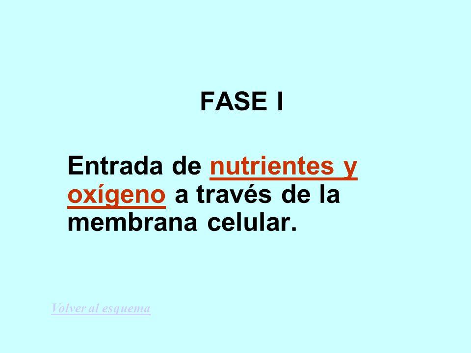 Entrada de nutrientes y oxígeno a través de la membrana celular.
