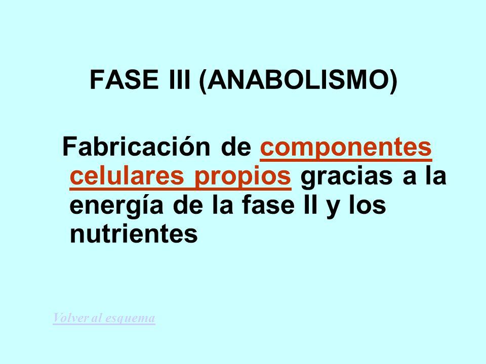 FASE III (ANABOLISMO) Fabricación de componentes celulares propios gracias a la energía de la fase II y los nutrientes.