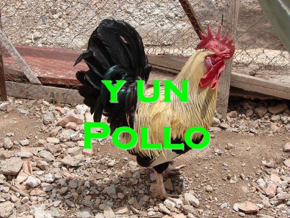 y un Pollo