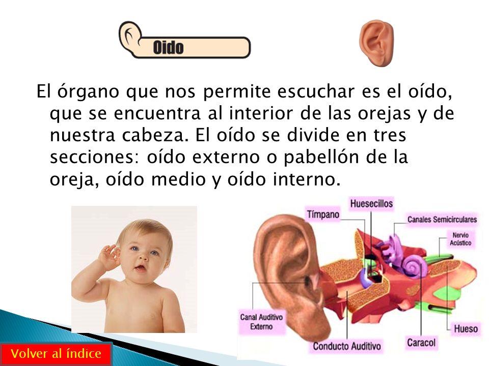 El órgano que nos permite escuchar es el oído, que se encuentra al interior de las orejas y de nuestra cabeza. El oído se divide en tres secciones: oído externo o pabellón de la oreja, oído medio y oído interno.