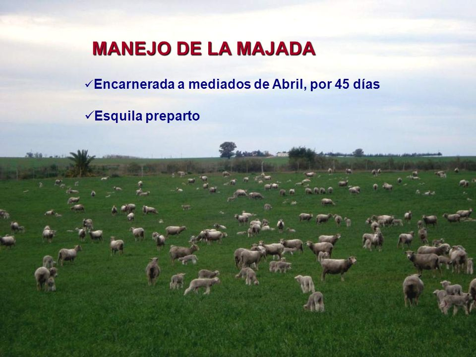 MANEJO DE LA MAJADA Esquila preparto