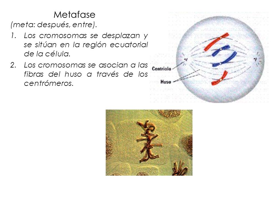 Metafase (meta: después, entre).