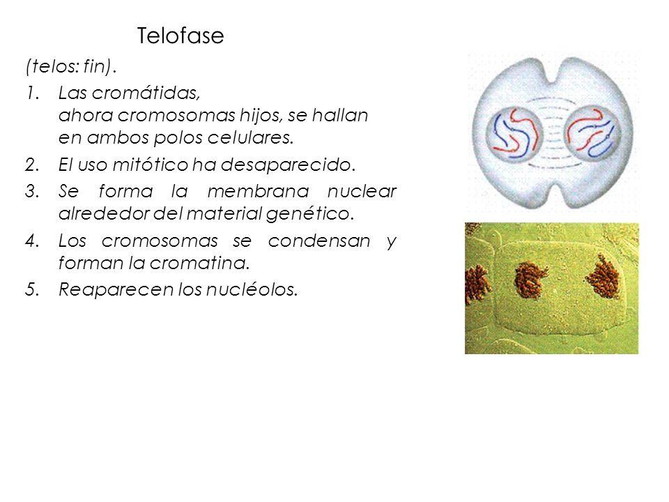 Telofase (telos: fin). Las cromátidas, ahora cromosomas hijos, se hallan en ambos polos celulares.