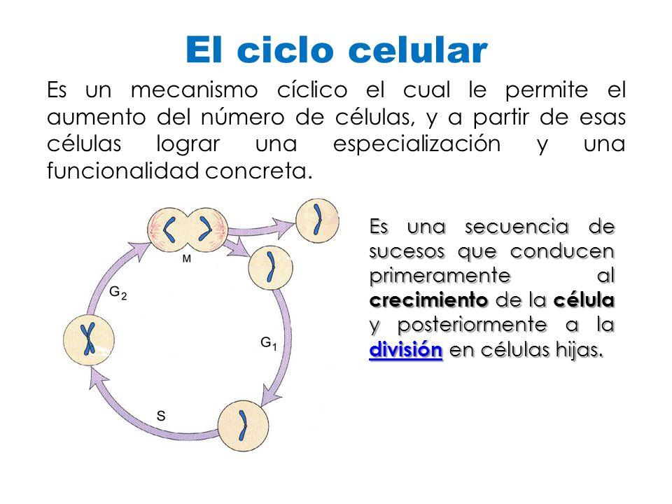 El ciclo celular