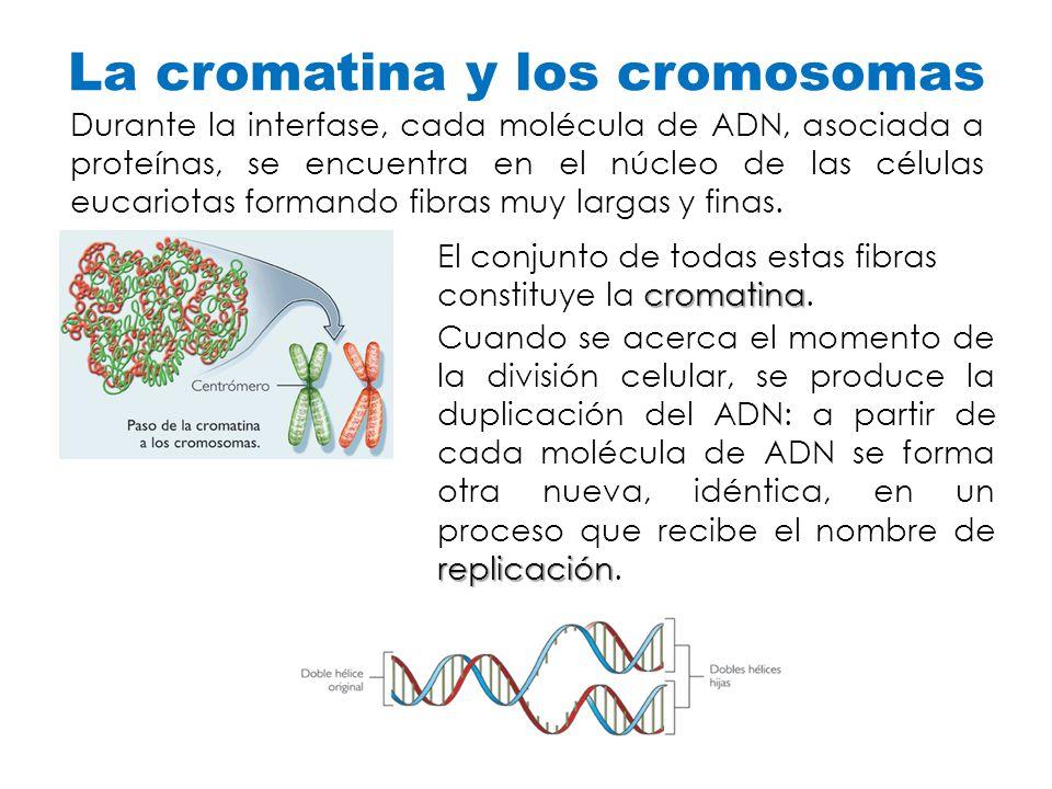 La cromatina y los cromosomas