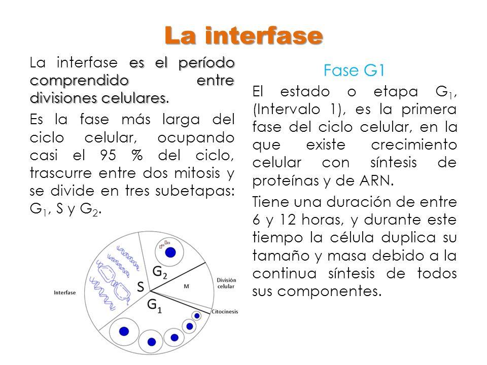 La interfase La interfase es el período comprendido entre divisiones celulares.