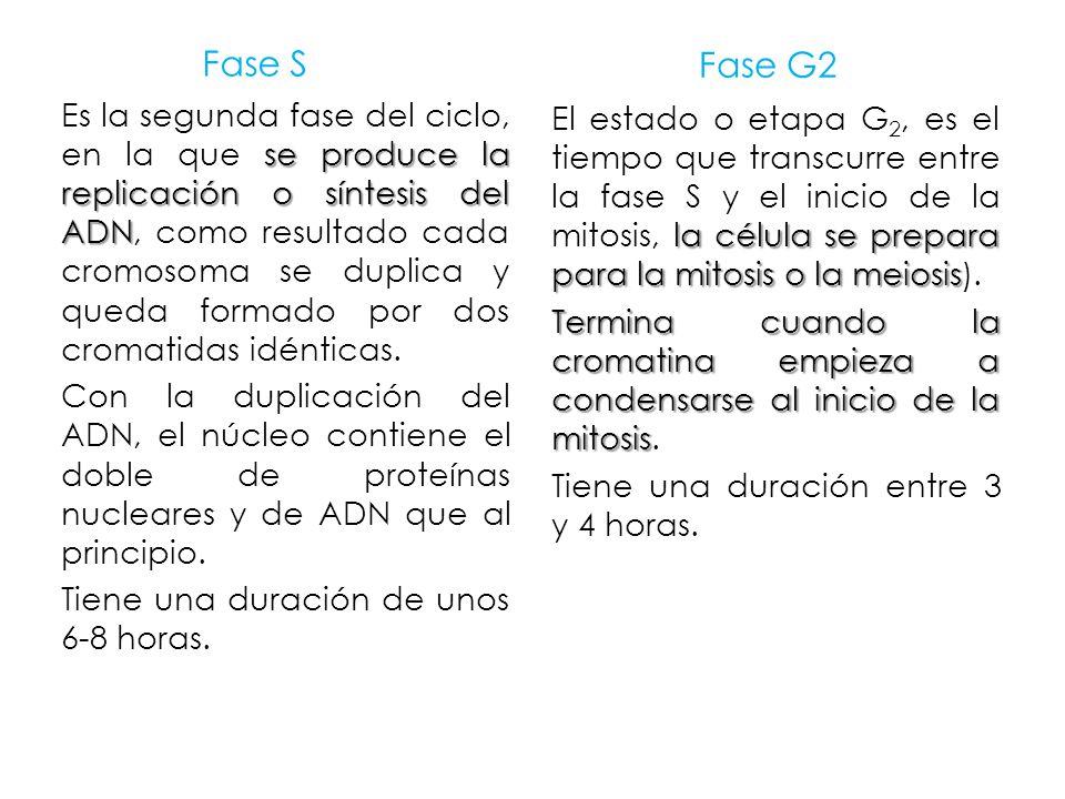 Fase S Fase G2.