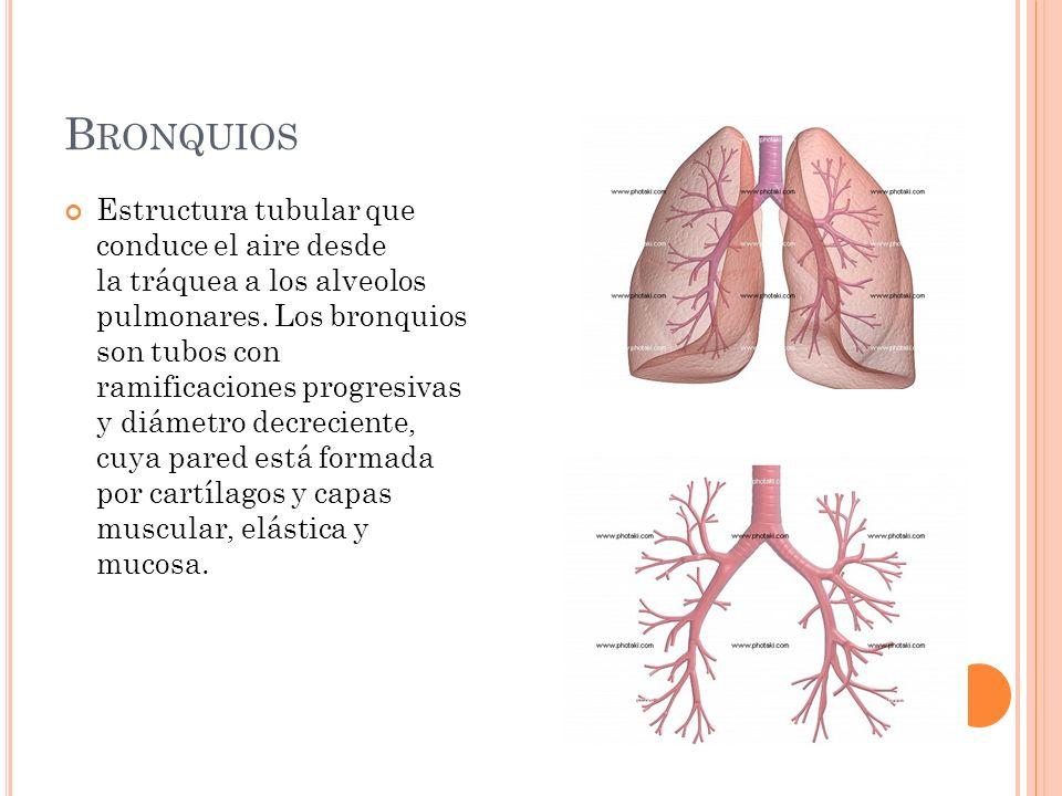 Bronquios