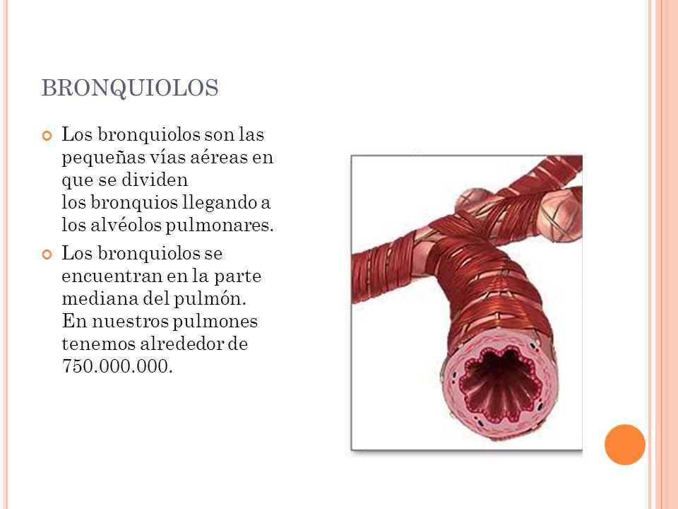 bronquiolos Los bronquiolos son las pequeñas vías aéreas en que se dividen los bronquios llegando a los alvéolos pulmonares.