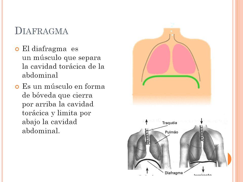 Diafragma El diafragma es un músculo que separa la cavidad torácica de la abdominal.