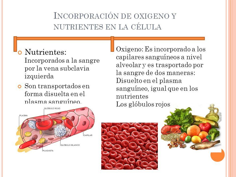 Incorporación de oxigeno y nutrientes en la célula