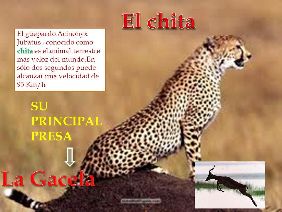 El chita La Gacela SU PRINCIPAL PRESA