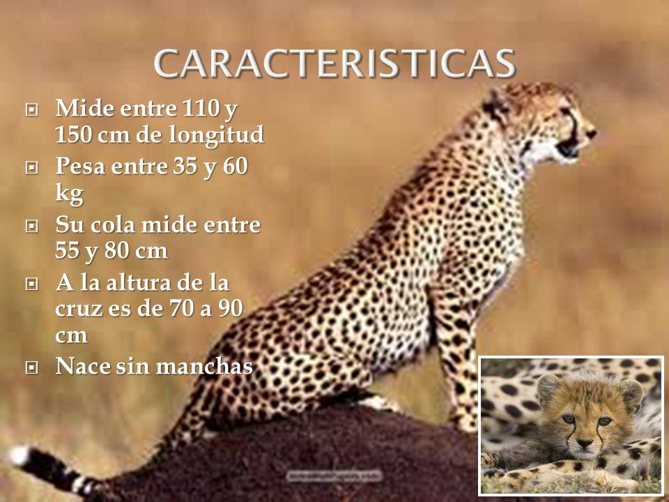CARACTERISTICAS Mide entre 110 y 150 cm de longitud