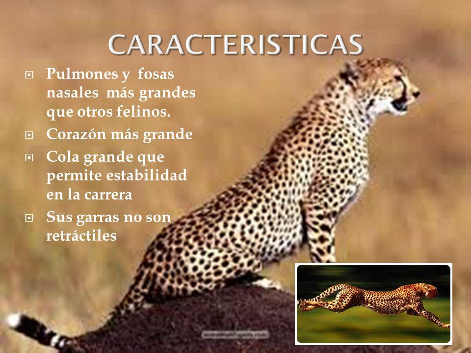 CARACTERISTICAS Pulmones y fosas nasales más grandes que otros felinos. Corazón más grande. Cola grande que permite estabilidad en la carrera.
