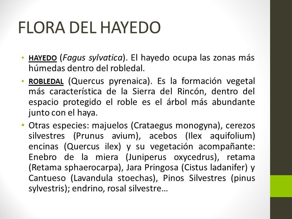 FLORA DEL HAYEDO HAYEDO (Fagus sylvatica). El hayedo ocupa las zonas más húmedas dentro del robledal.