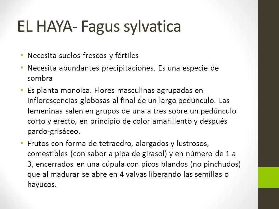 EL HAYA- Fagus sylvatica