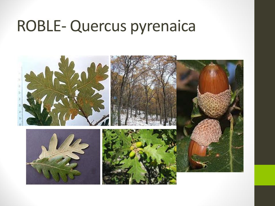 ROBLE- Quercus pyrenaica