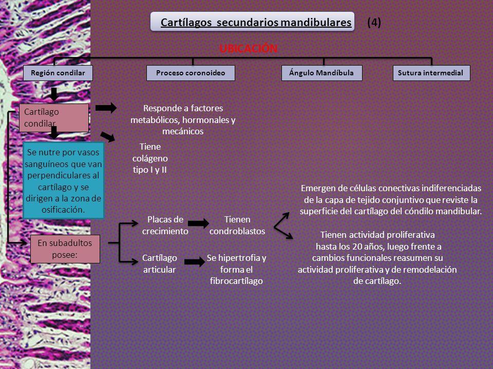 Cartílagos secundarios mandibulares (4)