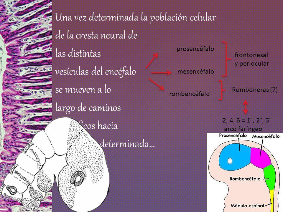 Una vez determinada la población celular de la cresta neural de las distintas vesículas del encéfalo se mueven a lo largo de caminos específicos hacia una región determinada…