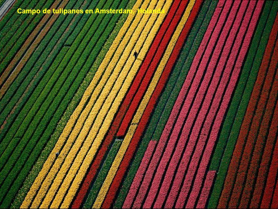 Campo de tulipanes en Amsterdam, Holanda