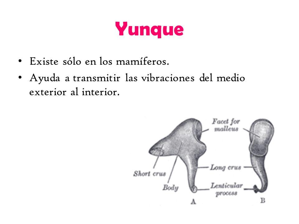 Yunque Existe sólo en los mamíferos.
