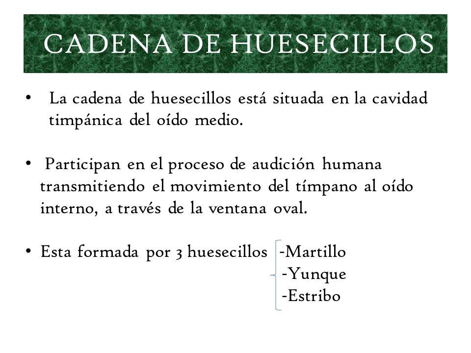 CADENA DE HUESECILLOS La cadena de huesecillos está situada en la cavidad timpánica del oído medio.