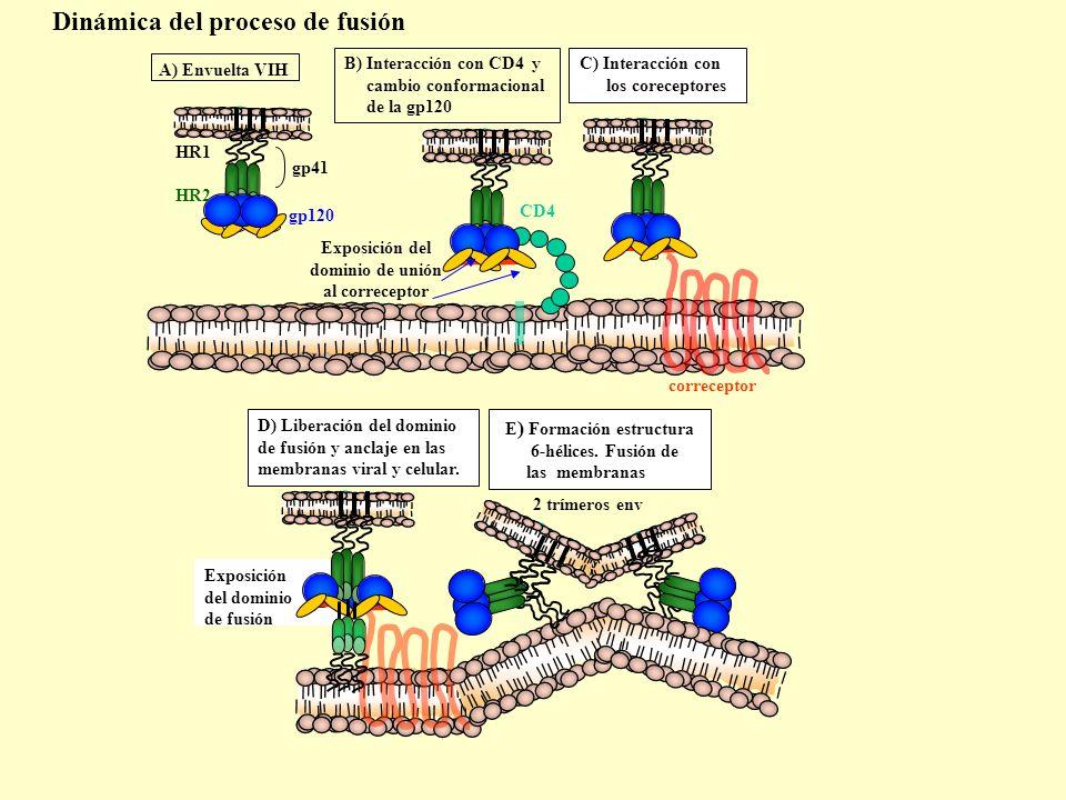 E) Formación estructura Exposición del dominio de unión al correceptor