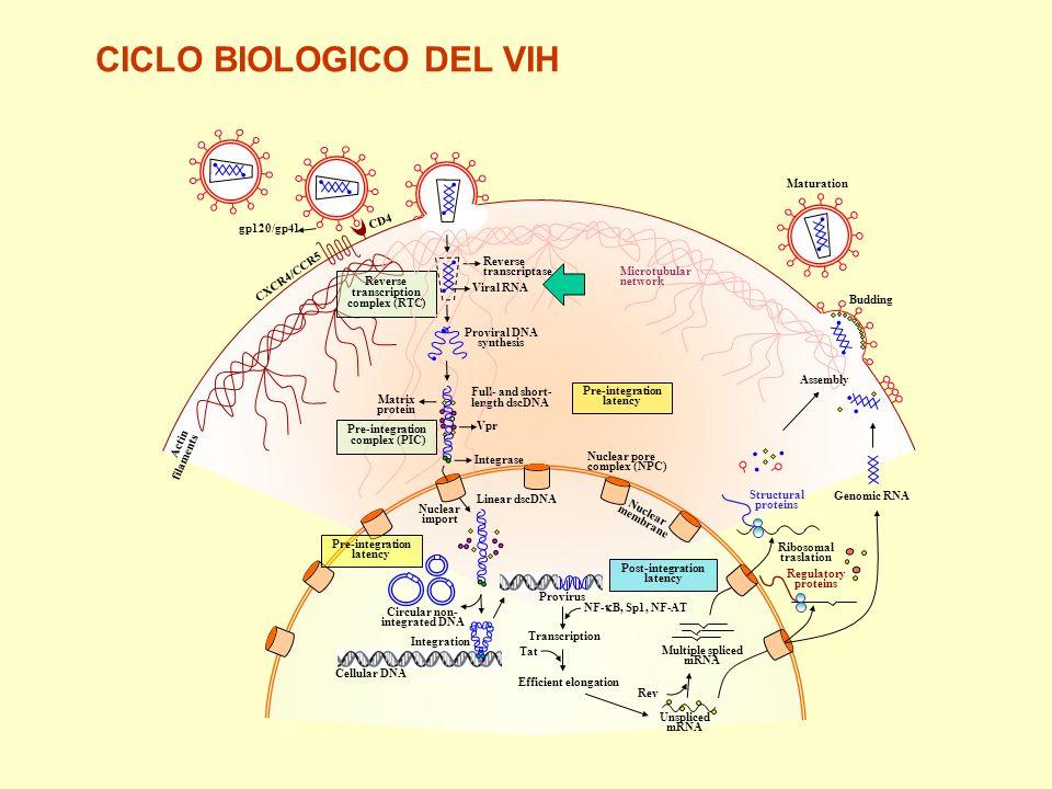 CICLO BIOLOGICO DEL VIH