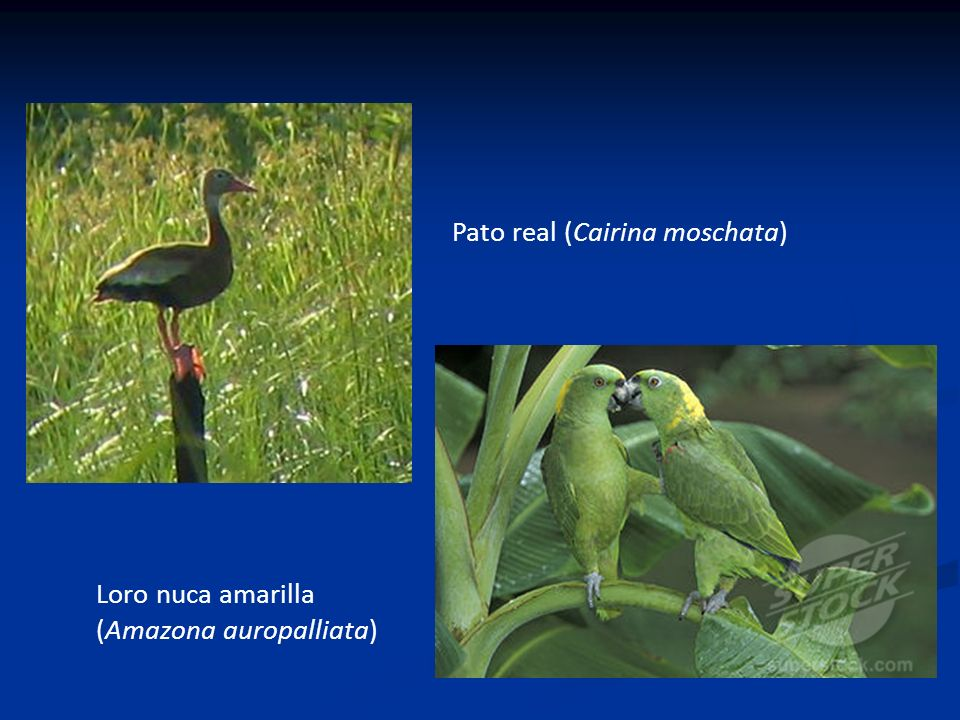 Pato real (Cairina moschata)