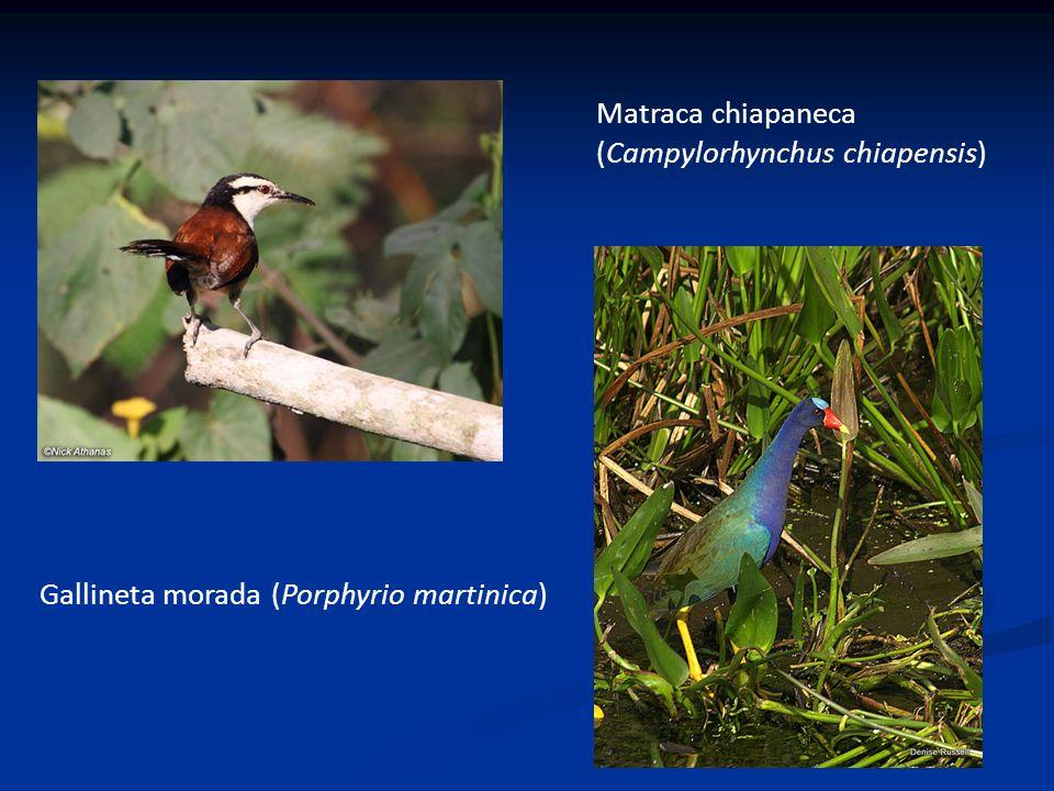 Matraca chiapaneca (Campylorhynchus chiapensis) Gallineta morada (Porphyrio martinica)