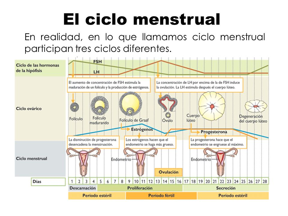 El ciclo menstrual En realidad, en lo que llamamos ciclo menstrual participan tres ciclos diferentes.