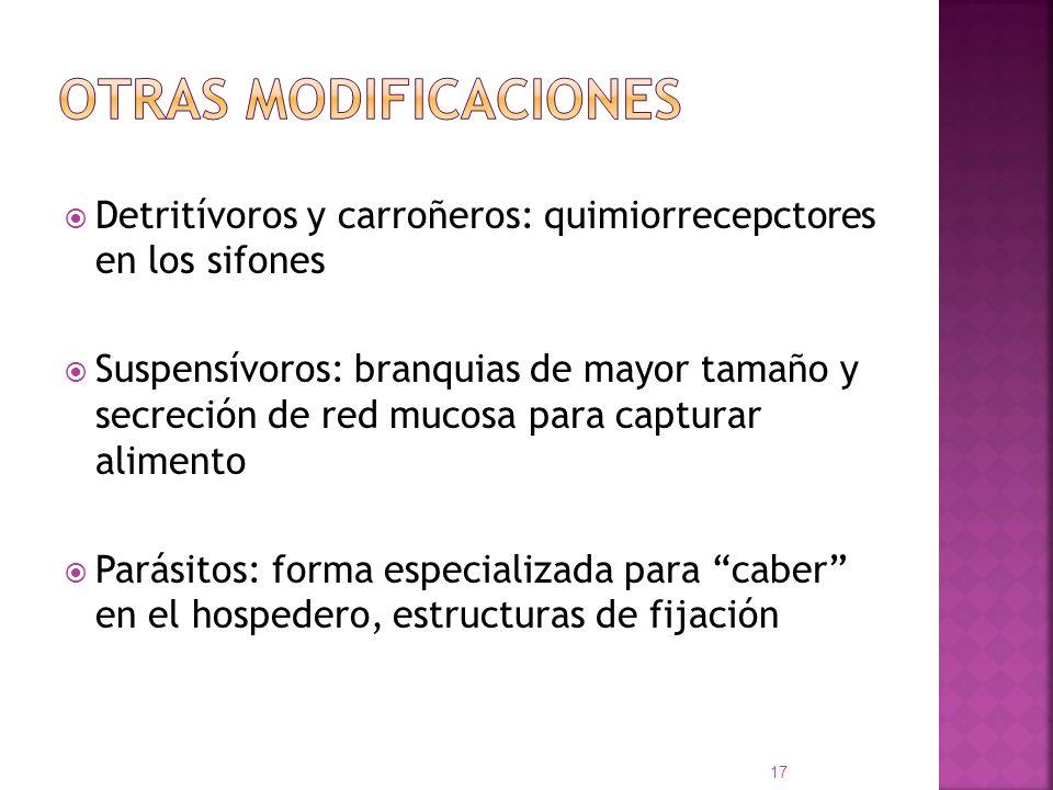 Otras modificaciones Detritívoros y carroñeros: quimiorrecepctores en los sifones.