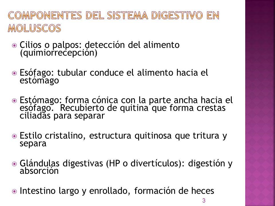 Componentes del Sistema Digestivo en moluscos
