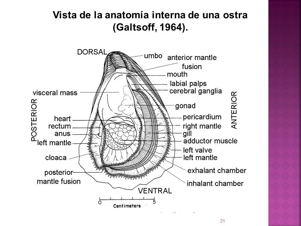 Vista de la anatomía interna de una ostra