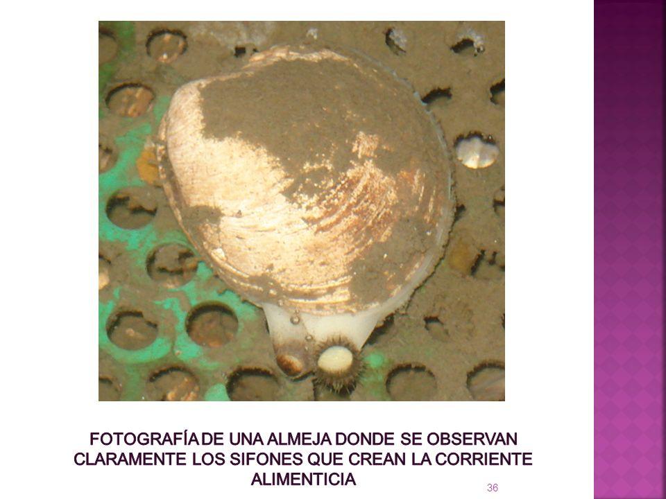 Fotografía de una almeja donde se observan claramente los sifones que crean la corriente alimenticia