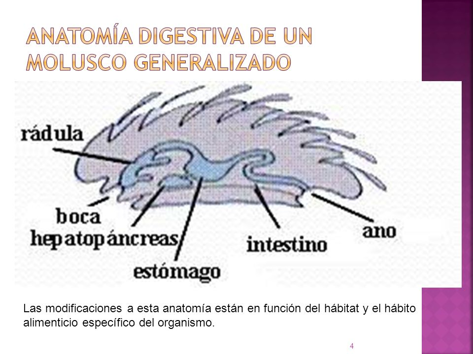 ANATOMÍA DIGESTIVA DE UN MOLUSCO GENERALIZADO