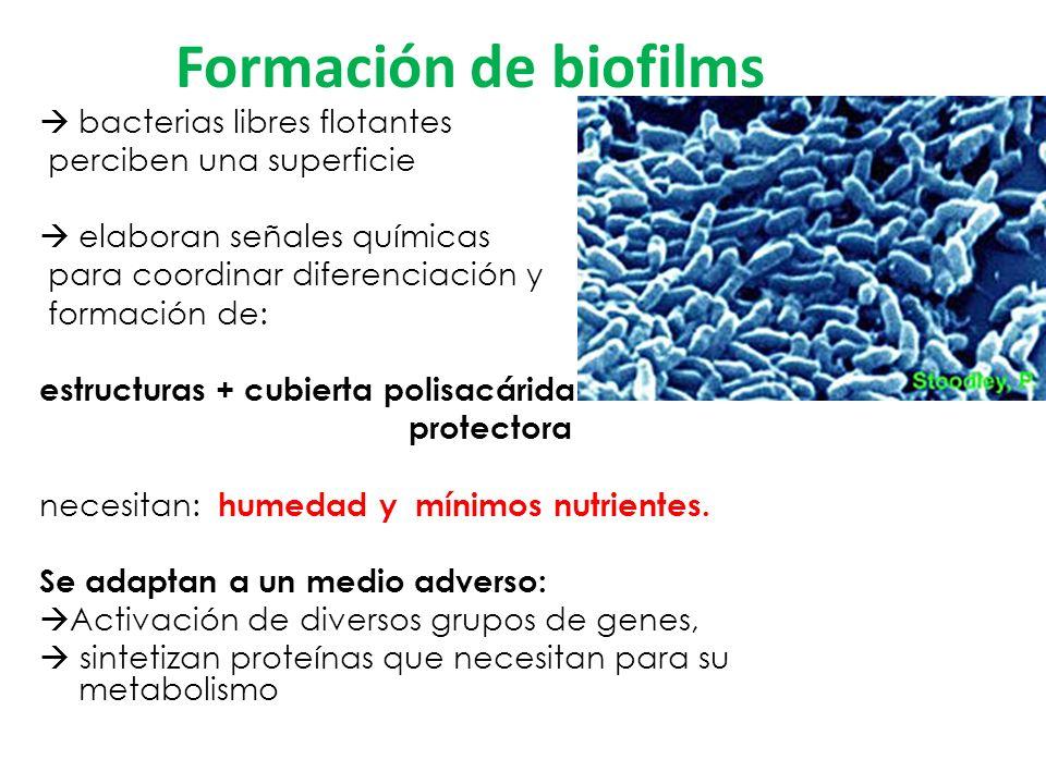 Formación de biofilms bacterias libres flotantes