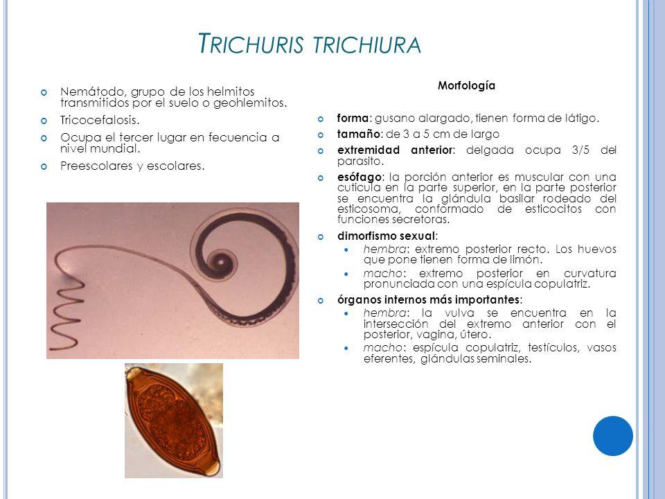 Trichuris trichiura Morfología. forma: gusano alargado, tienen forma de látigo. tamaño: de 3 a 5 cm de largo.