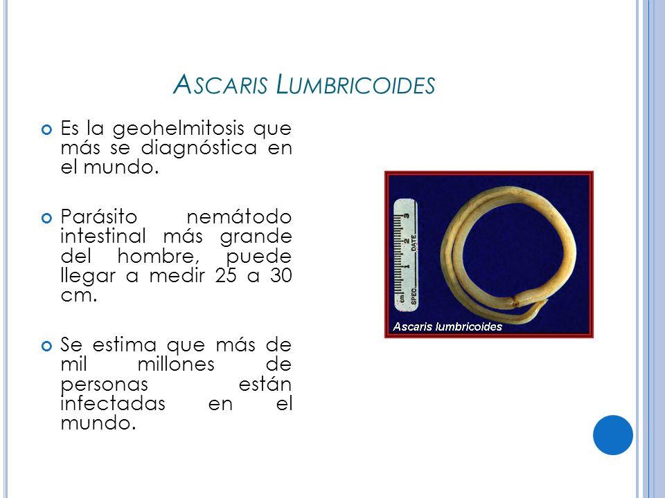 Ascaris Lumbricoides Es la geohelmitosis que más se diagnóstica en el mundo.