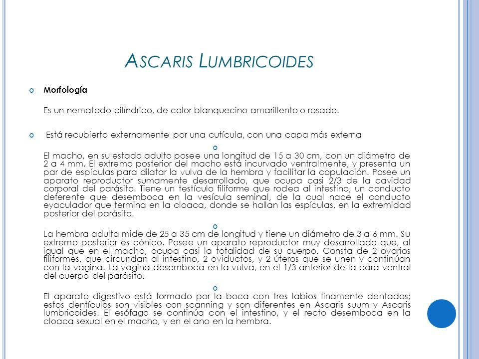 Ascaris Lumbricoides Morfología