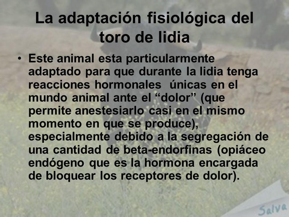La adaptación fisiológica del toro de lidia