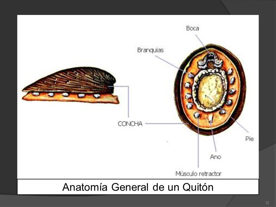 Anatomía General de un Quitón