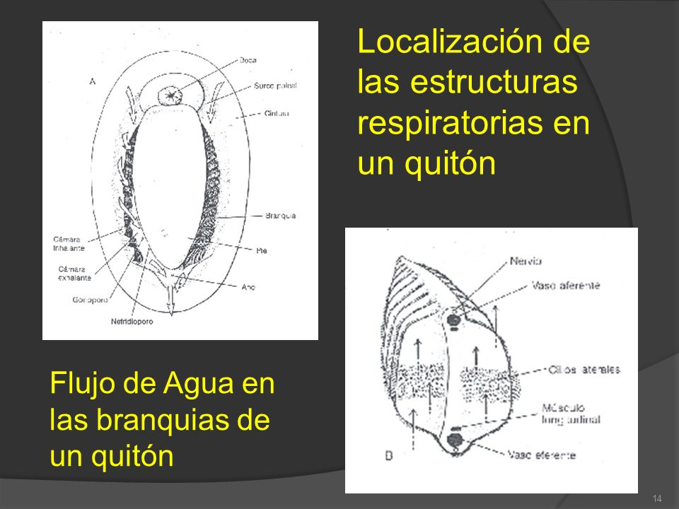 Localización de las estructuras respiratorias en un quitón