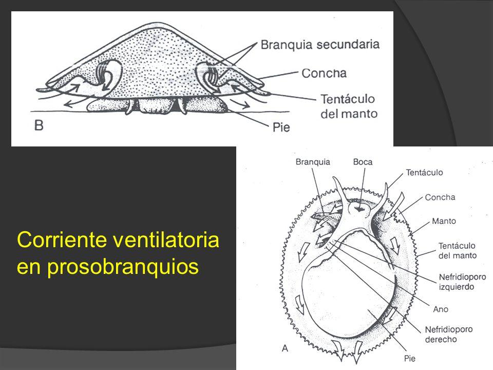 Corriente ventilatoria en prosobranquios