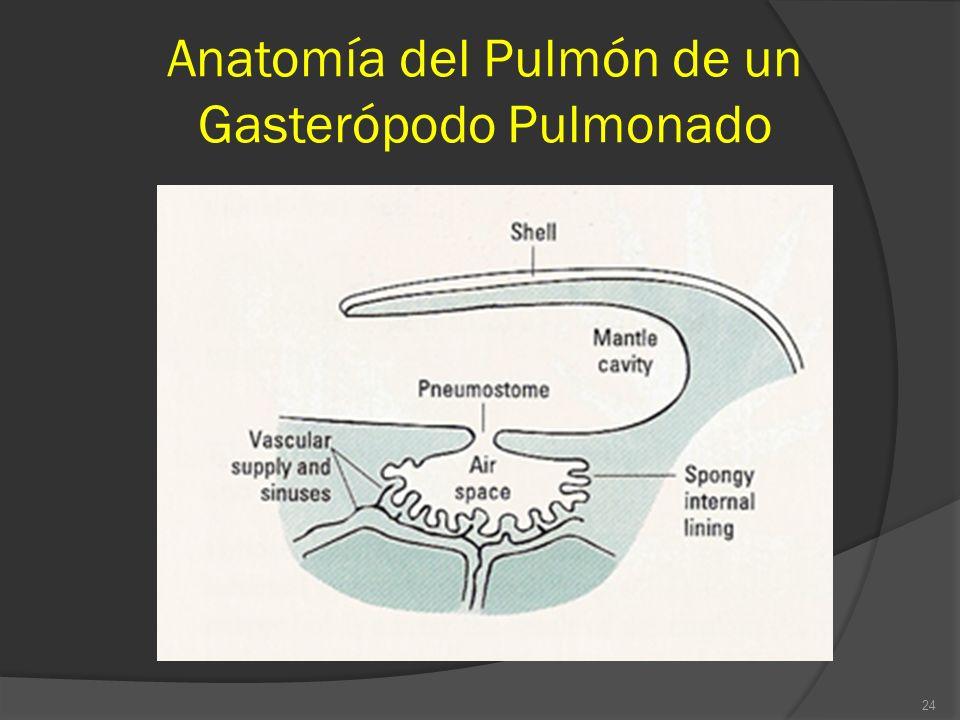 Anatomía del Pulmón de un Gasterópodo Pulmonado