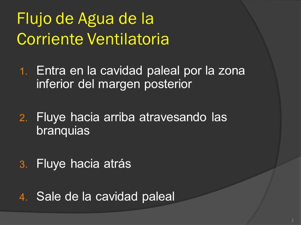 Flujo de Agua de la Corriente Ventilatoria