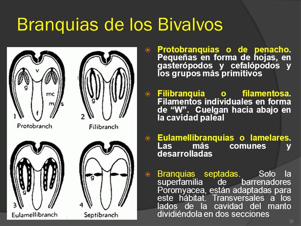 Branquias de los Bivalvos